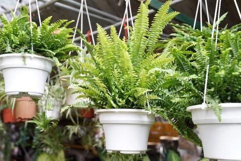 de varen is een luchtzuiverende plant, ideaal voor je interieur