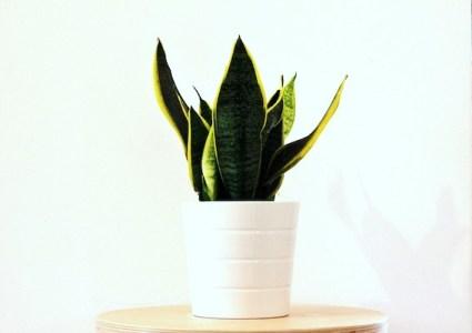 Favoriet van alle fijne kamerplanten, de sanseveria luchtzuiverende plant ook 's nachts