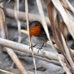 European Robin in Ein Gedi Nature reserve, Israel