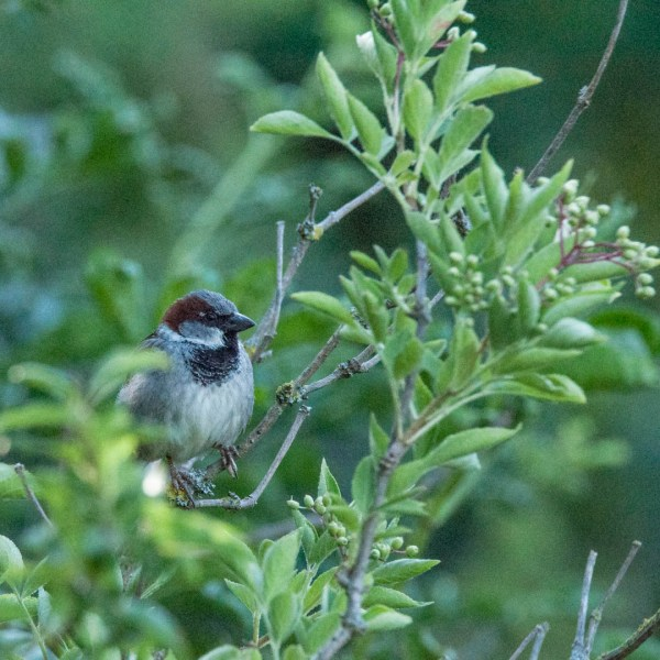 Tree Sparrow, Zurich