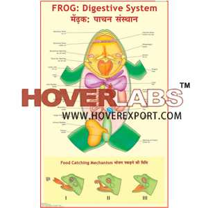 Frog : Digestive System India, Manufacturers, Suppliers ...