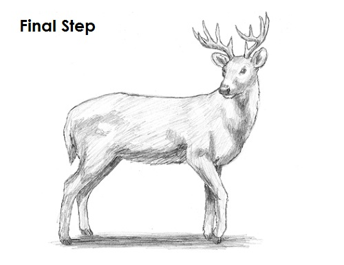 How to Draw a White-Tailed Deer VIDEO & Step-by-Step Pictures