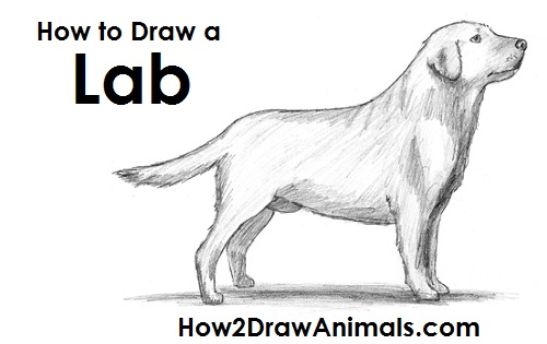 How to Draw a Dog (Labrador Retriever)