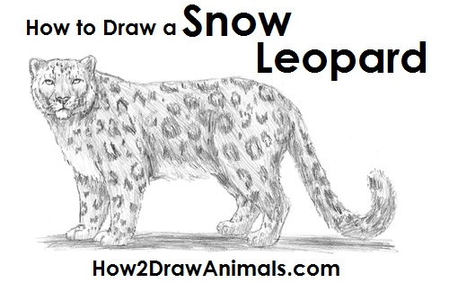 How to Draw a Snow Leopard