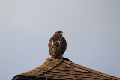 A hawk visits the Howard County Conservancy at Belmont
