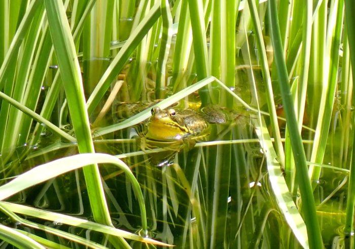 Frog Calls!