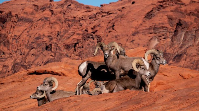 Sheep in the Valley of the Fire State Park near Atlatl Rock campground Nevada