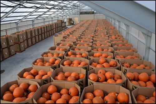 canadian wholesale pumpkins ontario