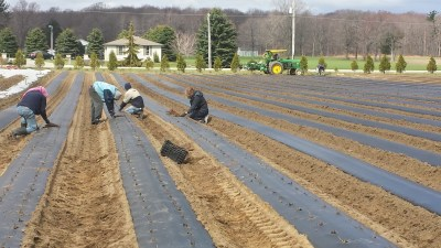 watermelon and cantaloupe planting