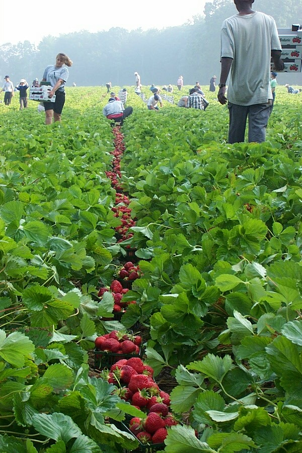 Ontario farm strawberry harvest