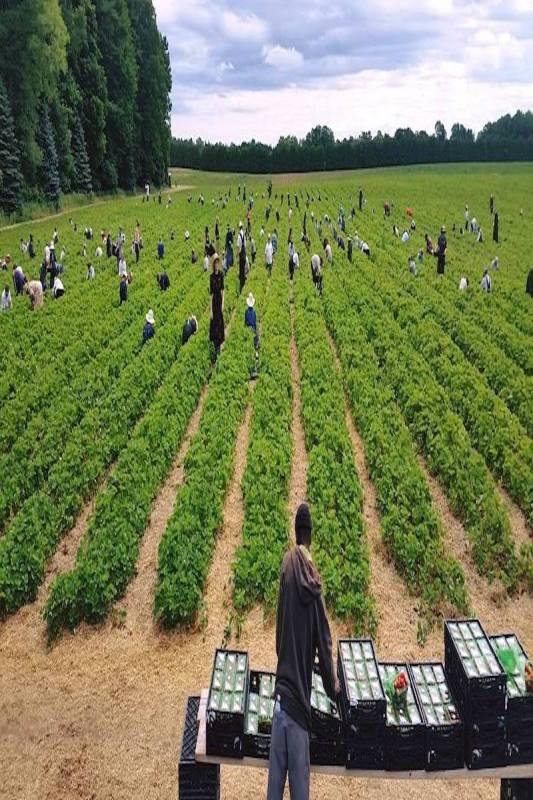 harvest strawberry farm ontario