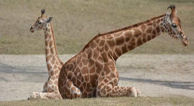 Fun Facts about Giraffes