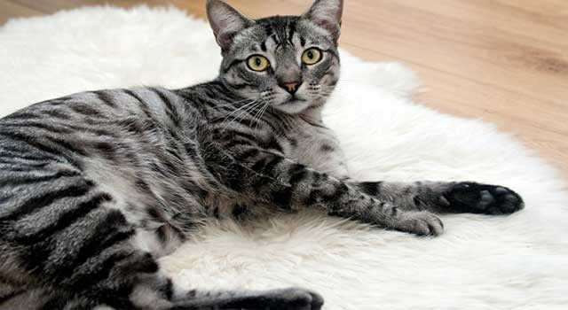 About Cats : How Do Cats Reproduce