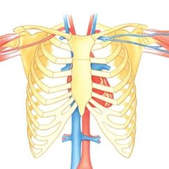 Diagram Of Ribs And Organs Honda Z50 Wiring The Human Ribcage How It Works