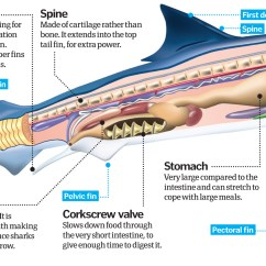 Great White Shark Anatomy Diagram Table Lamp Wiring Week Sharks The Most Misunderstood Species On