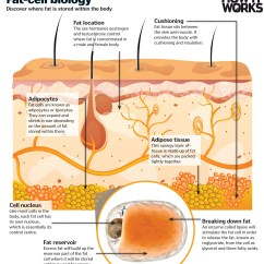 White Fat Cell Diagram Arm Muscles Anatomy Blank How Does The Body Burn It Works Magazine