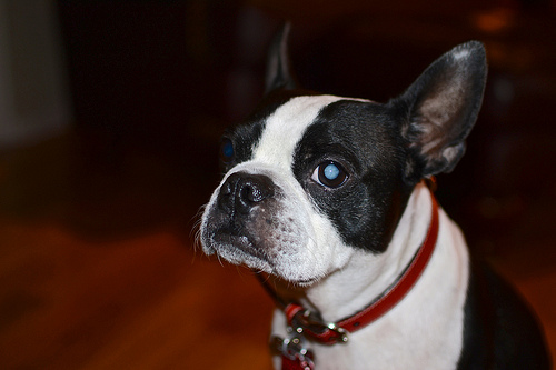 How Much Does Cataract Surgery in Dogs Cost  HowMuchIsItorg