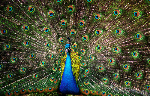 How Much Does A Peacock Feather Cost