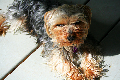 How Much Does a Teacup Yorkie Cost  HowMuchIsItorg