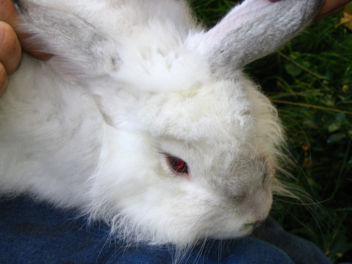 How Much Does An Angora Rabbit Cost