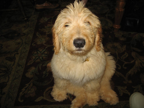 How Much Do Goldendoodles Cost  HowMuchIsItorg