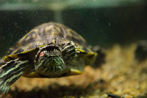 How Much Does a Russian Tortoise Cost  HowMuchIsItorg