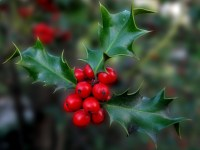 Holly for Christmas Decoration