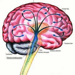 Reticular Formation Diagram American Standard 90 Furnace Wiring How The Brain Works Coherently Under Management Of Activating System
