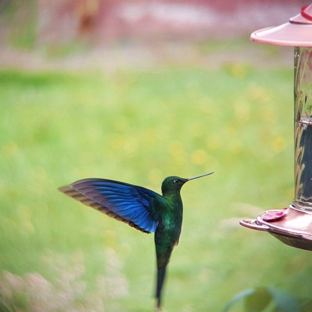 Great Sapphirewing Observatorio de Colibries hummingbirds observatory Bogota