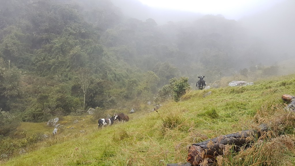 Cows in Choachi, Colombia. Hiking near Bogota.
