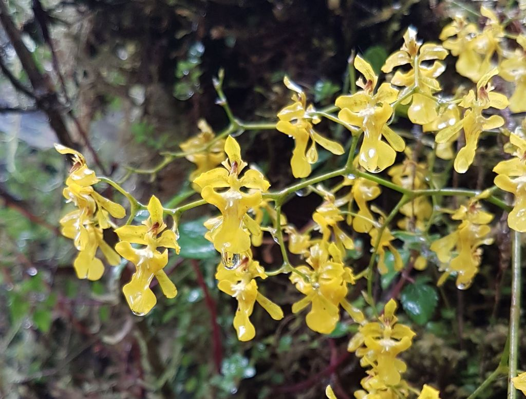 Baby yellow orchids Choachi cloud forest Colombia