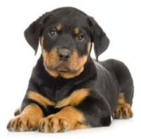 breeding dogs and puppies