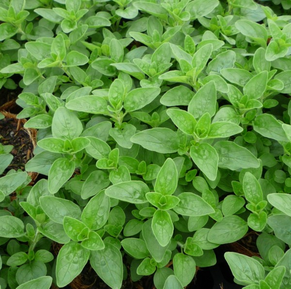 Herbal Tea Garden  Herb Types to Grow  How To Build A House