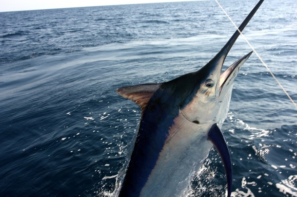 How to Catch Black Marlin  Tips for Fishing for Black Marlin