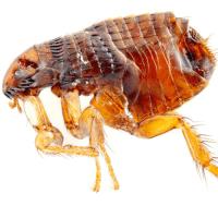 Get Rid Of Sand Fleas In Carpet - Carpet Vidalondon