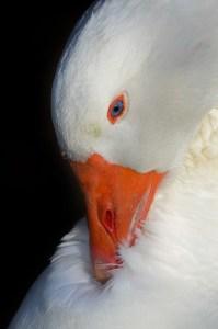 goose-715493_640