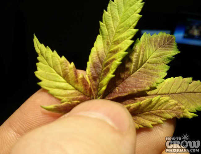 9 Common Marijuana Growing Mistakes And How To Fix Them