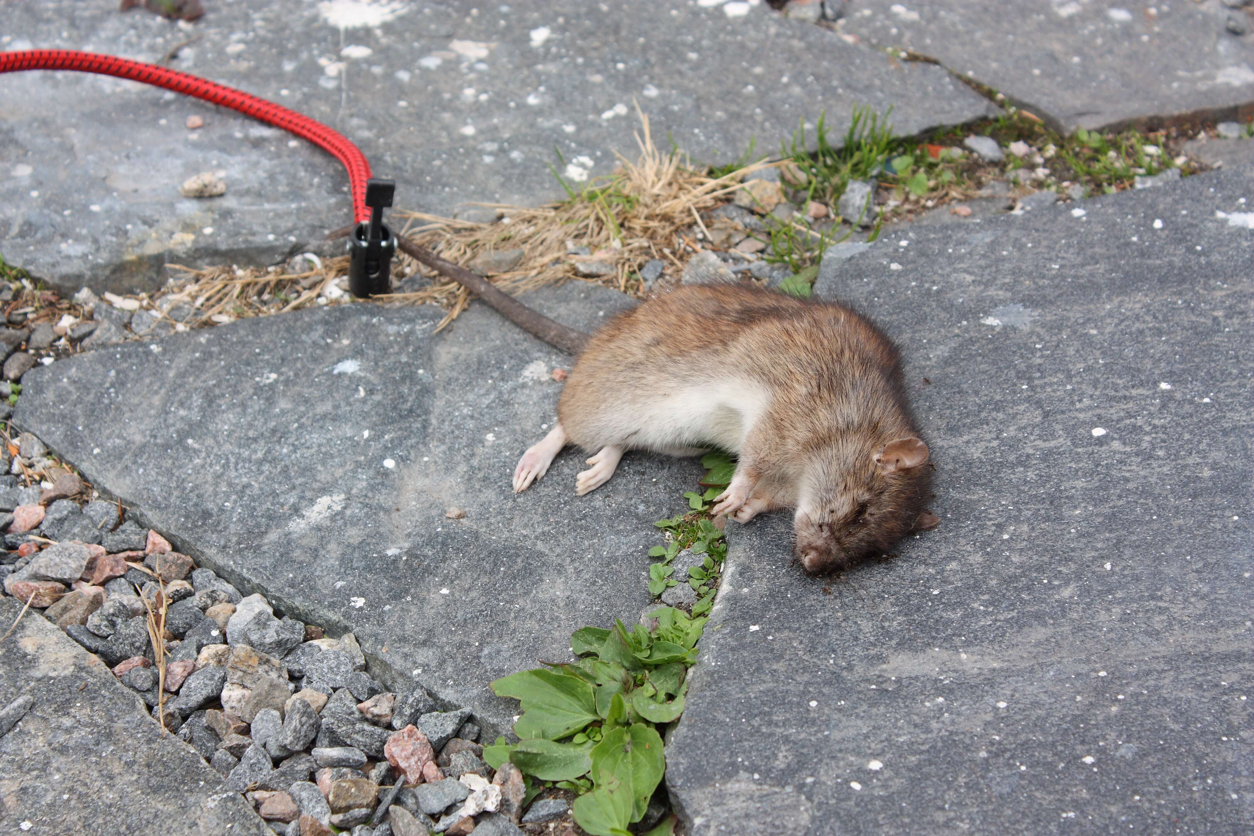 5787039305_ff2a5109e4_o?resize=780%2C520&ssl=1 blog how to prevent rats from eating your car wires mice eating wiring harness at bayanpartner.co