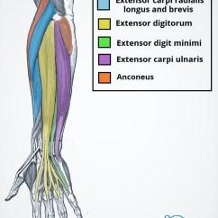 Blank Humerus Diagram Single Phase Marathon Motor Wiring Brachioradialis: Origin, Insertion, Nerve Supply & Action » How To Relief
