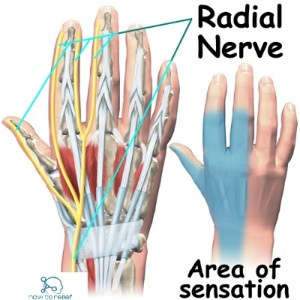 Radial Nerve:Course,Motor,Sensory & Common Injuries » How