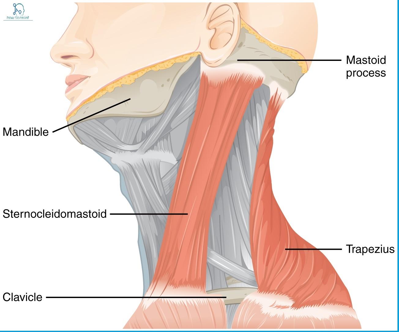 nerves in neck and shoulder diagram three phase star delta wiring typical to wye four wire transformer sternocleidomastoid origin insertion nerve supply