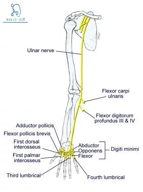 Ulnar nerve:Course,Motor,Sensory & Common Injuries » How