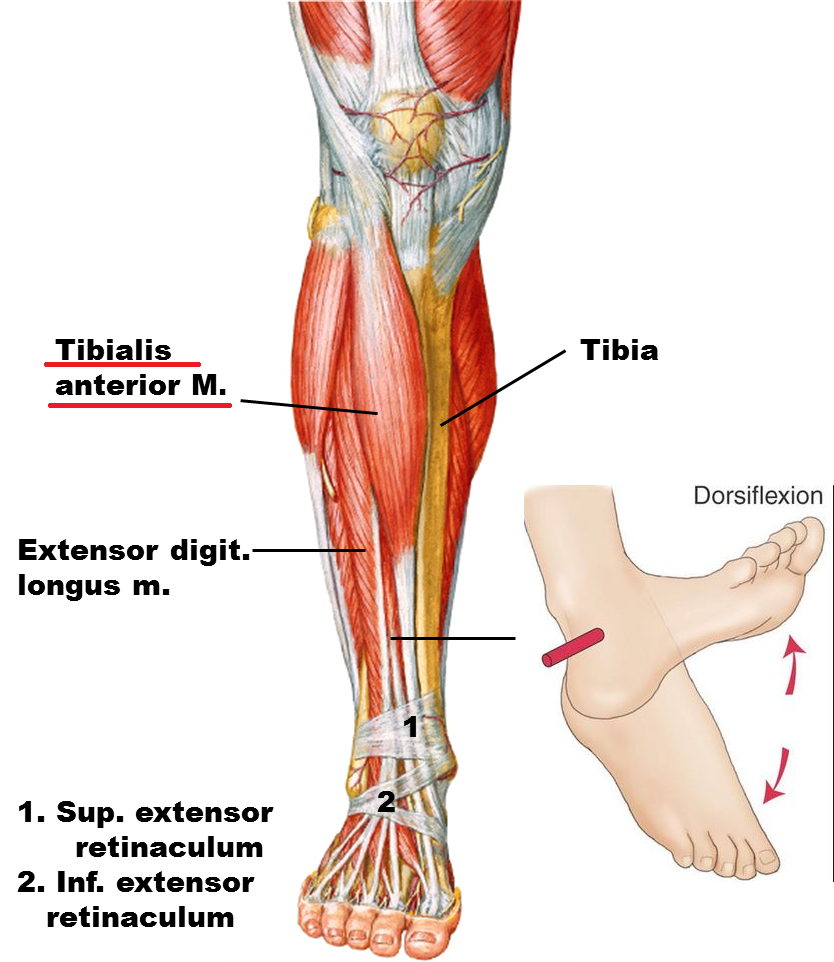movements allowed by synovial joints diagram 97 jeep tj radio wiring ankle joint:anatomy,movement & muscle involvement » how to relief