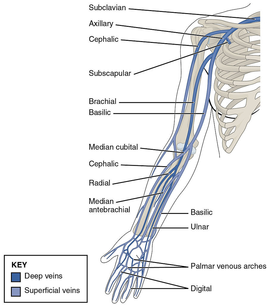 labeled diagram of abdominal vasculature urinary system without labels upper limbs veins » how to relief
