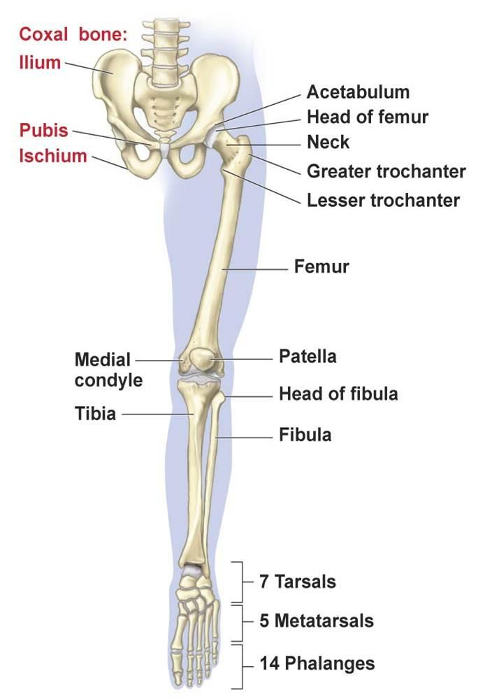 lower leg nerve diagram doerr electric motor lr24684 wiring extremity pelvis great installation of limb bones muscles joints nerves u00bb how to relief skeletal extemity