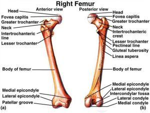 Femur Anatomy : Bony Landmarks & Muscle Attachment » How To Relief