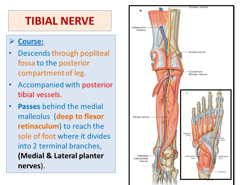Superficial Peroneal Nerve Anatomy