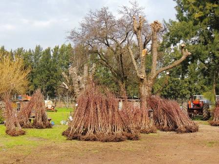 Tres mil plantas de duraznos se entregaron a productores locales