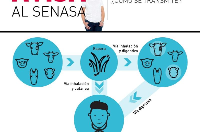 Avisá al Senasa: Carbunclo, qué es y cómo se transmite la enfermedad