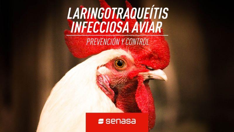 Medidas para prevenir y controlar la laringotraqueitis infecciosa aviar